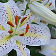 Oriental Lily White and Yellow