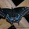 2008 Black Swallowtail 2