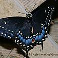 2008 Black Swallowtail 1