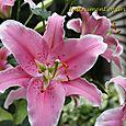 Oriental Lily Sorbonne