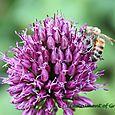 HoneyBee on Drumstick Allium